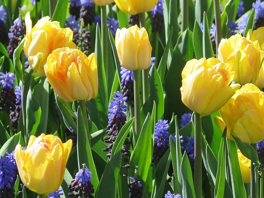tulpen gelb und Traubenhyazinthen Keukenhof