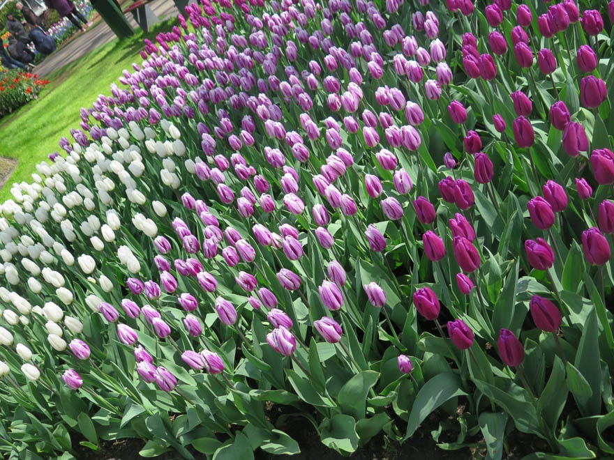 Tulpenbeet weiß, rosa, pink Keukenhof