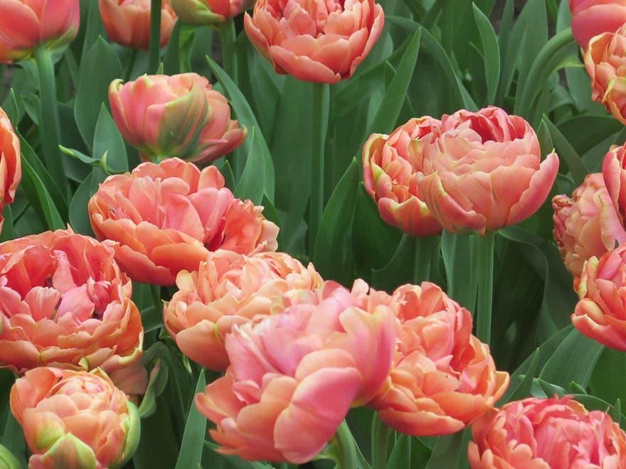 Gefüllte Tulpen in Orange