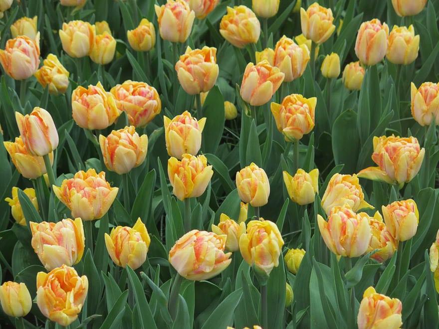 Gelbe Tulpen in Keukenhof
