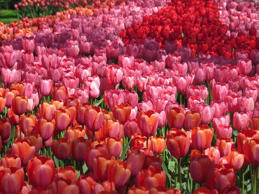 tulpenfeld in rot, orange und pink