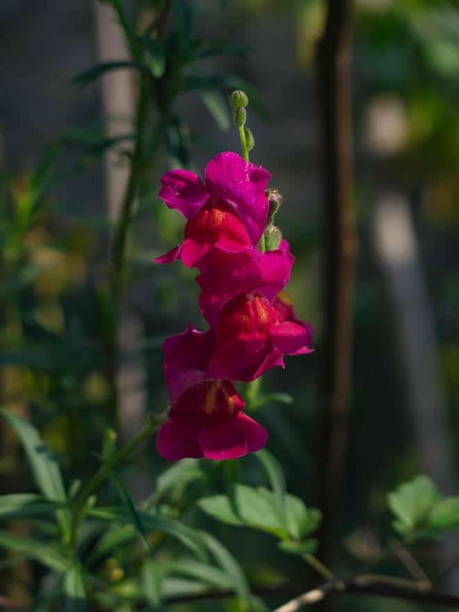 pinkfarbene Blume