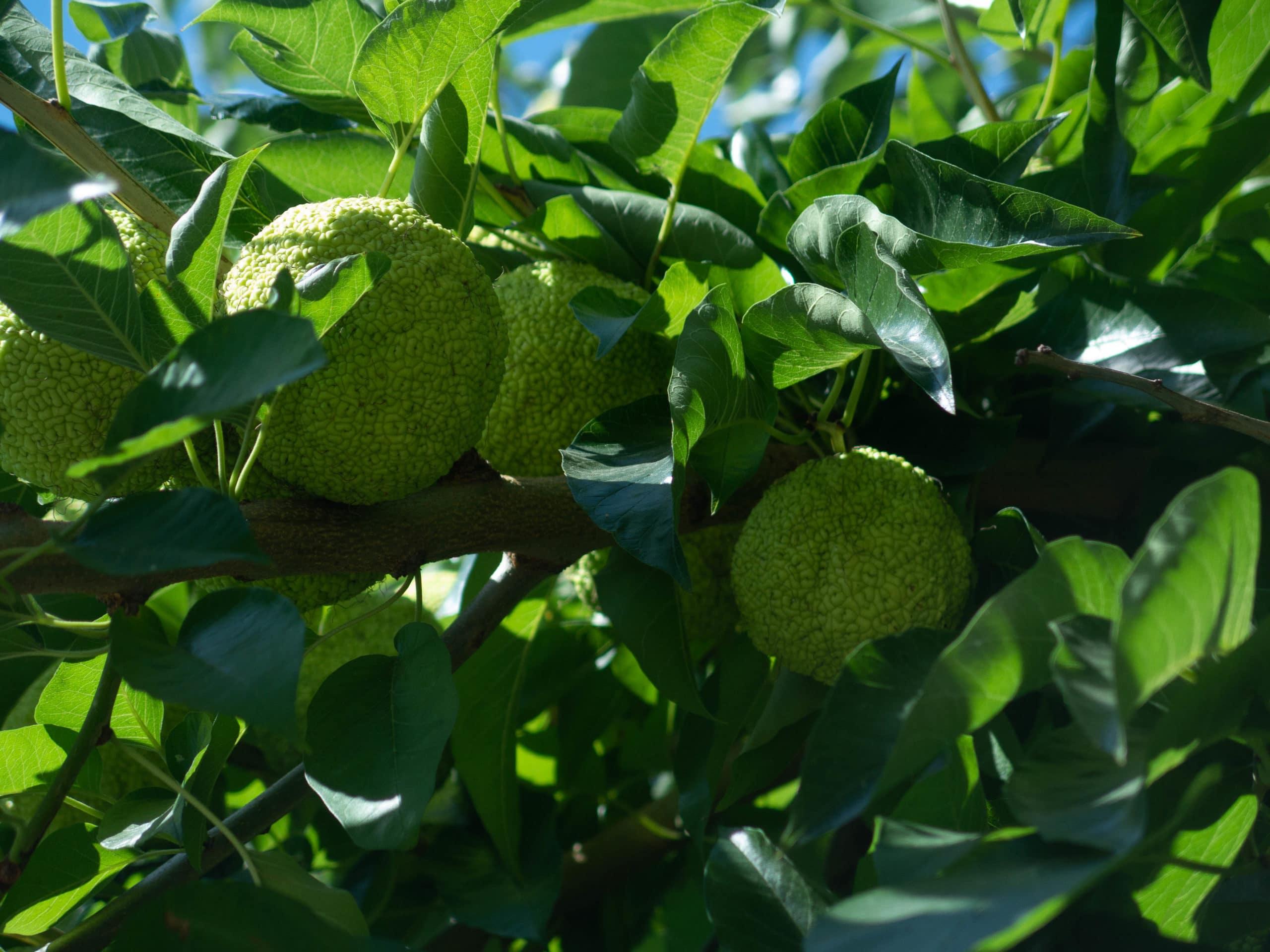Botanischer Garten Varna in Sveti Constantin, Baum mit Früchte