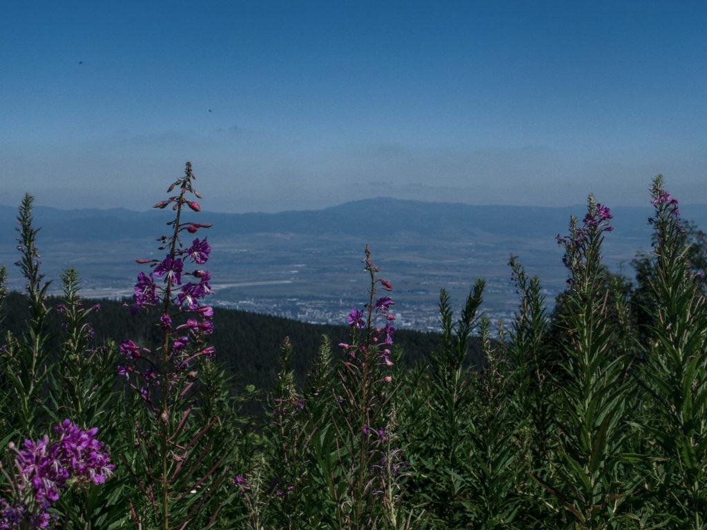 Aussicht auf Sofia vom Berg Vitosha, lila Blumen im Vordergrund