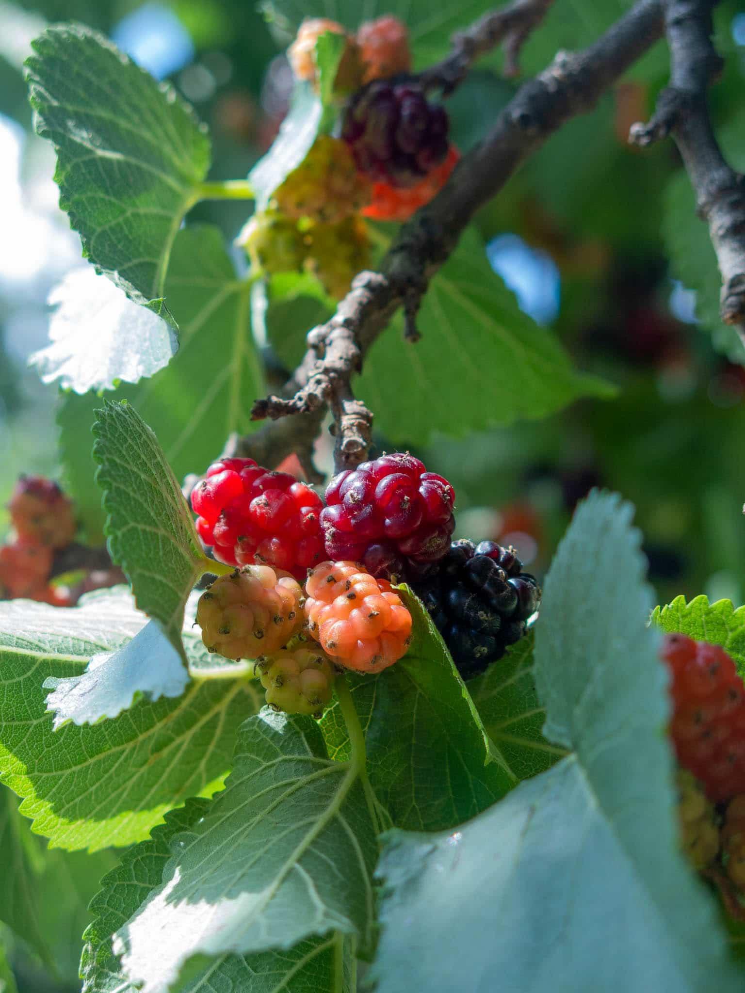 Maulbeeren am Zweig
