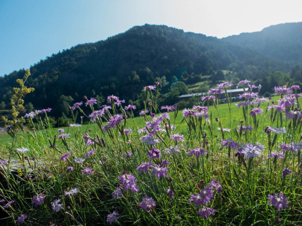 Vordergrund lila Blumen, im Hintergrund eine Wiese und Bergen