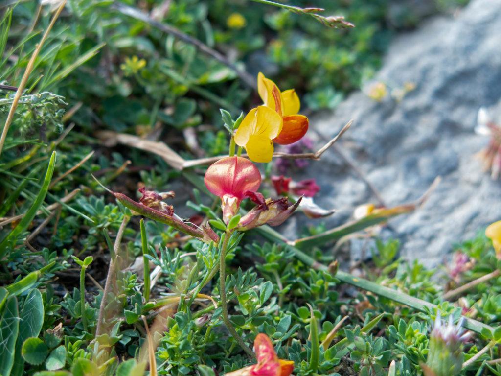 gelbe Blüte Andorra