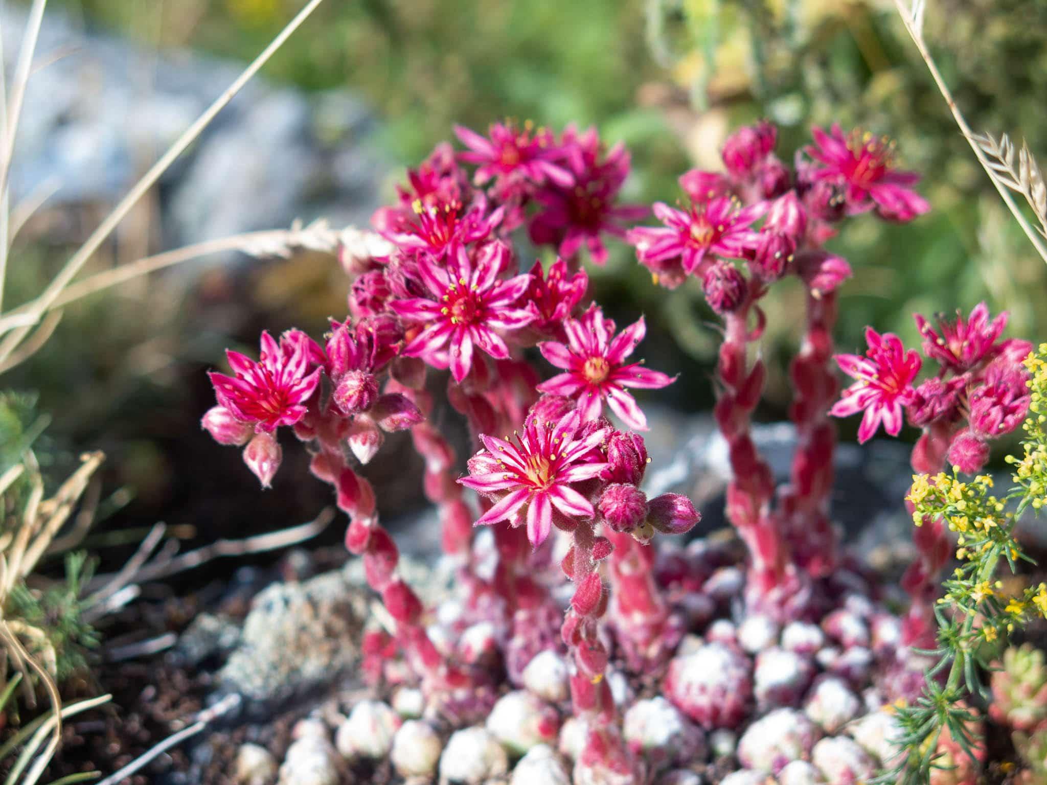 Pinkfarbene Blüten, Steingarten, Andorra