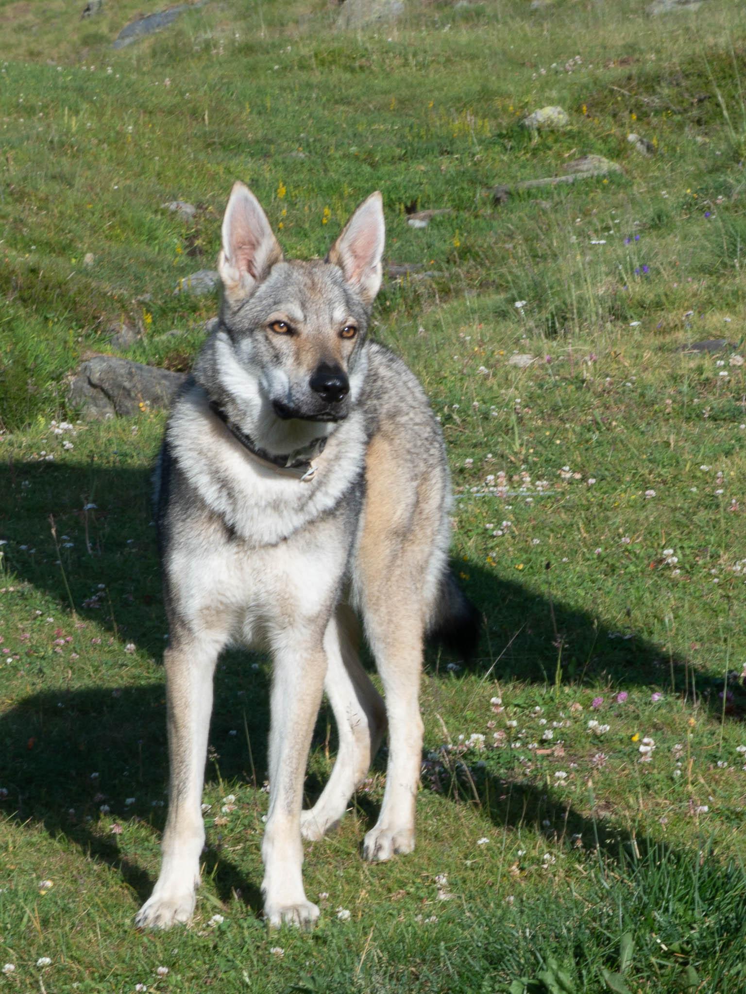 Wolfshund