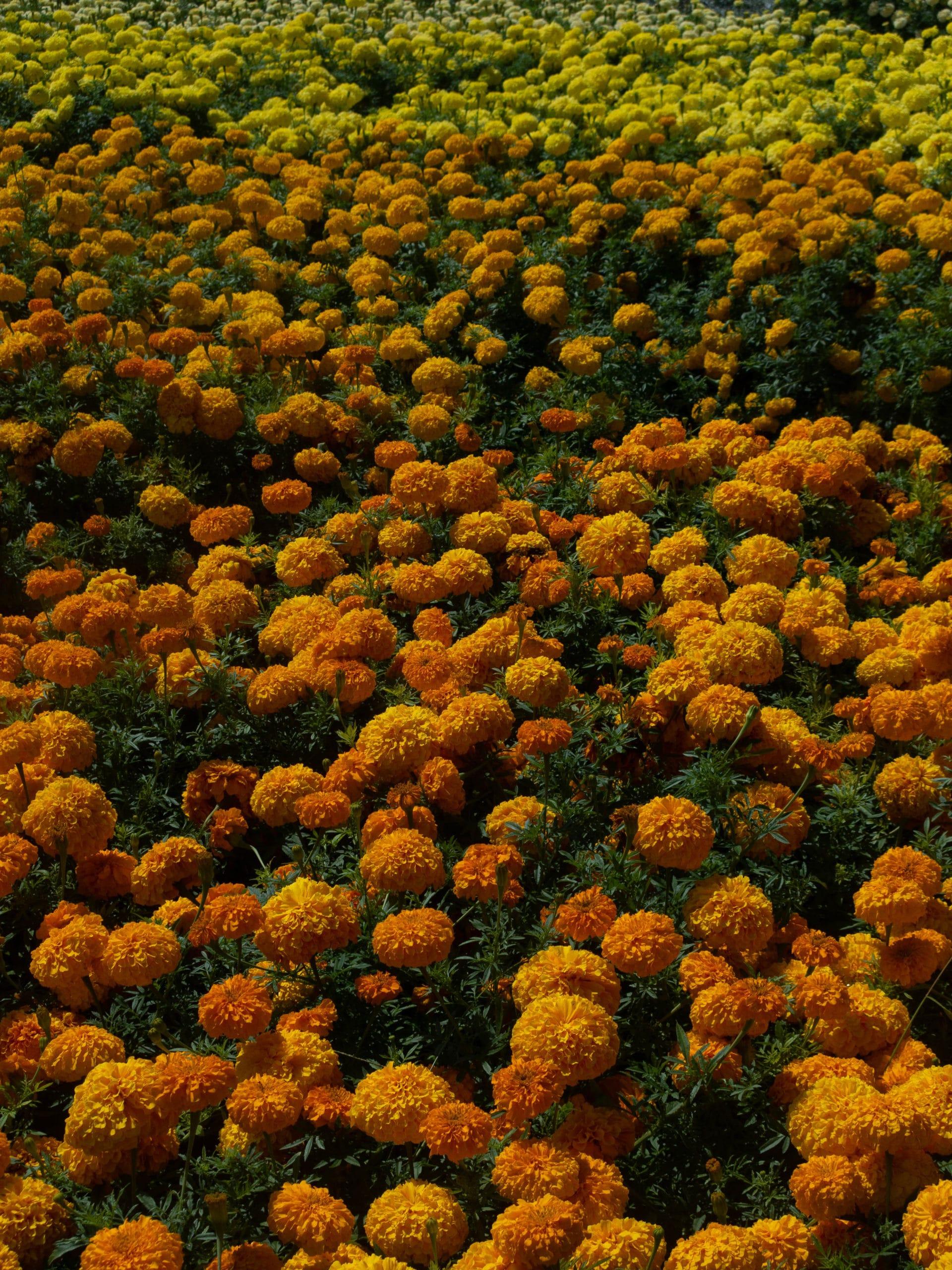 Tagetes im botanischen Garten Balchik