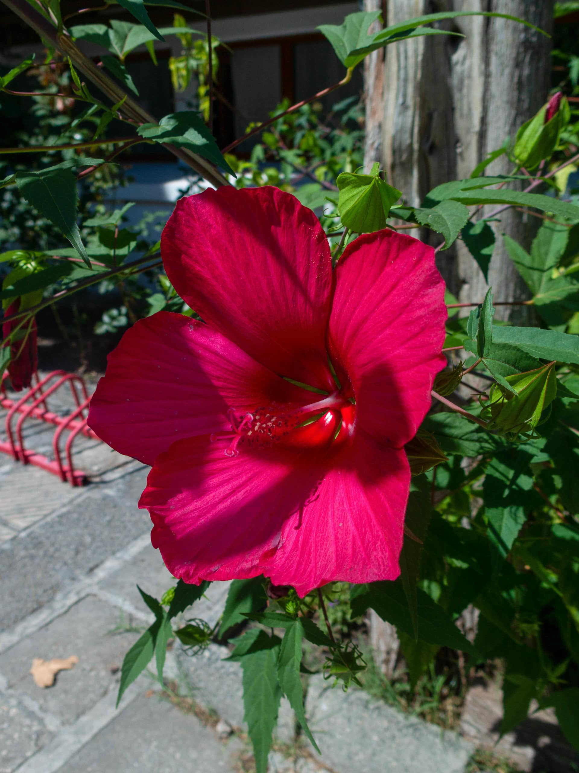 Pinkfarbene Blume nahaufname, im Hintergrund blaetter, Varna