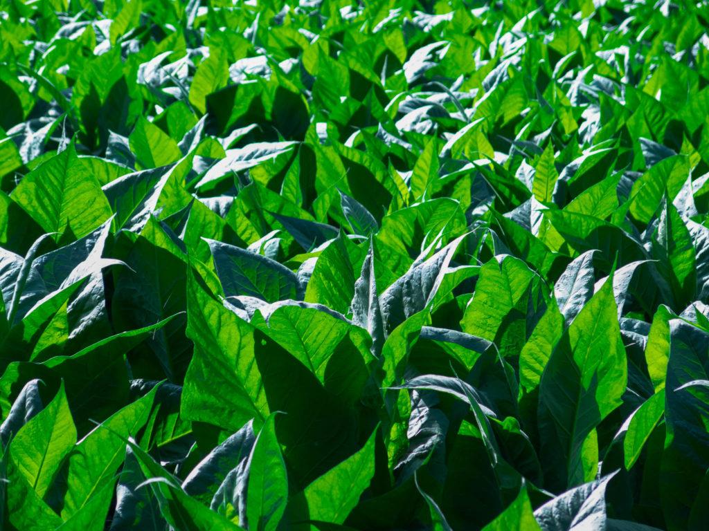 Tabakfeld in Andorra, grüne Blätter