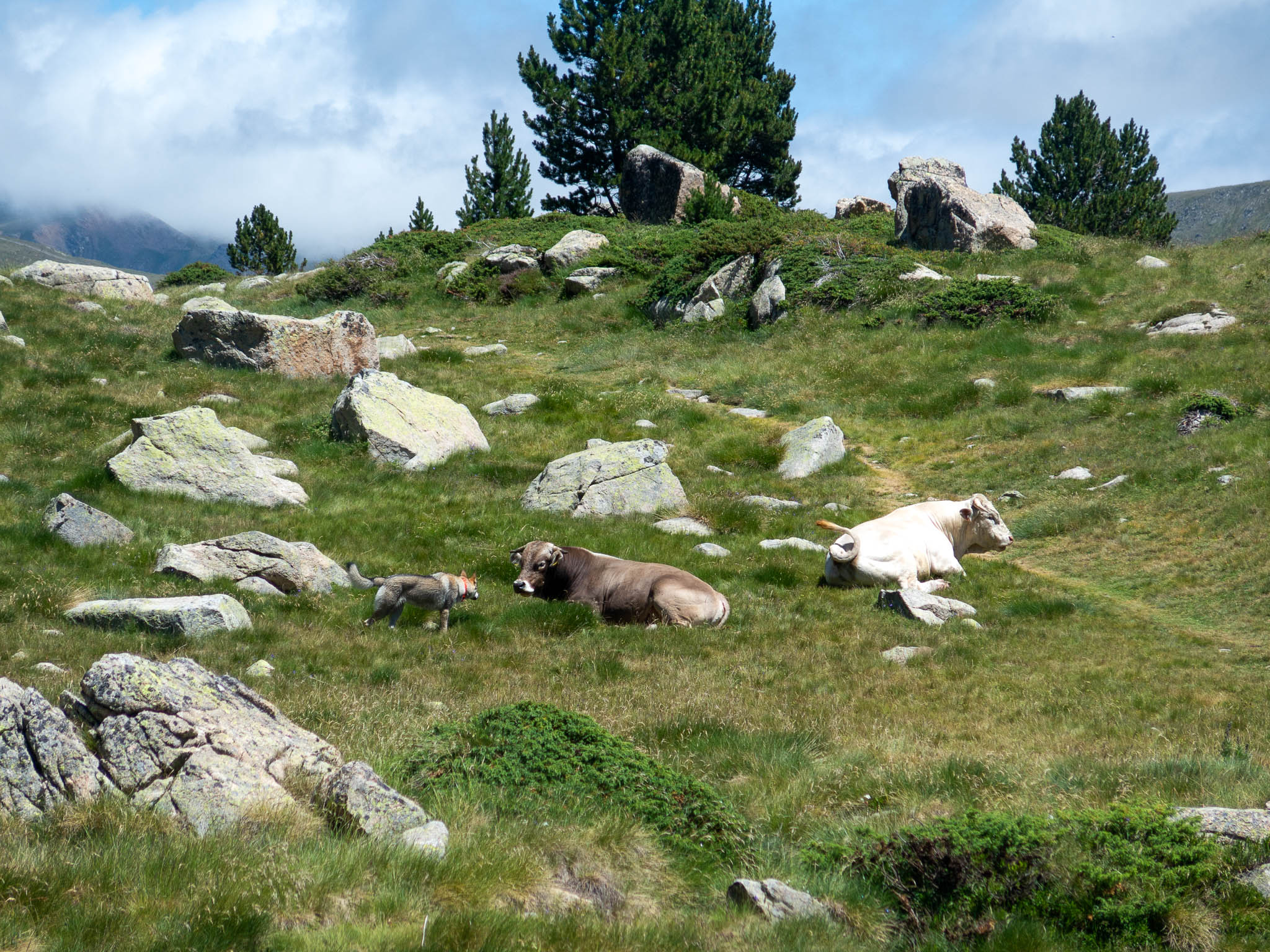 Kühe die auf dem Berg liegen in Grandvalira Andorra mit Hündin