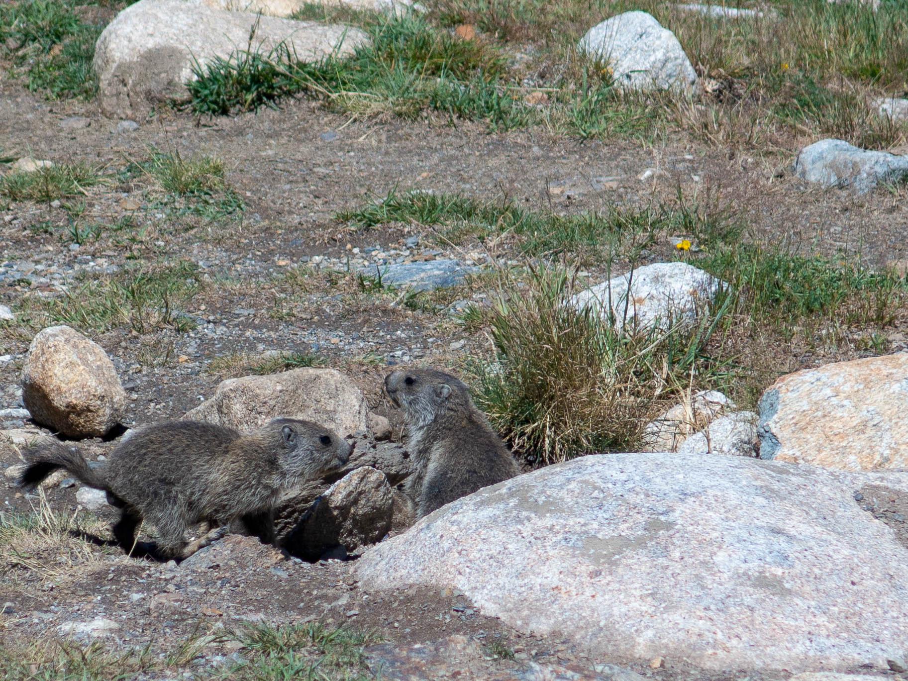 Murmeltiere in Andorra Grandvalira