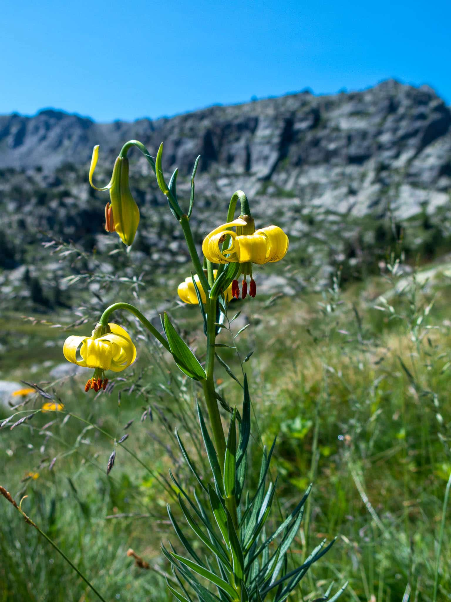 Gelbe Blume in Andorra