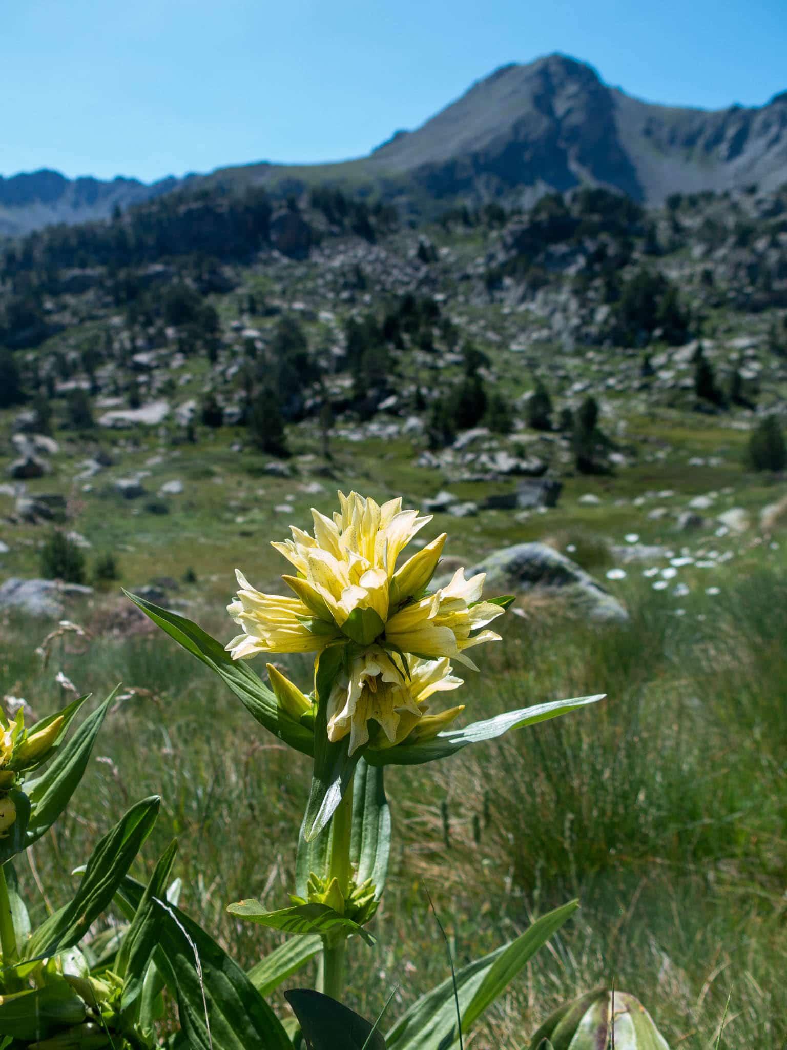 Gelbe Blume Andorra, im Hintergrund ein Berg