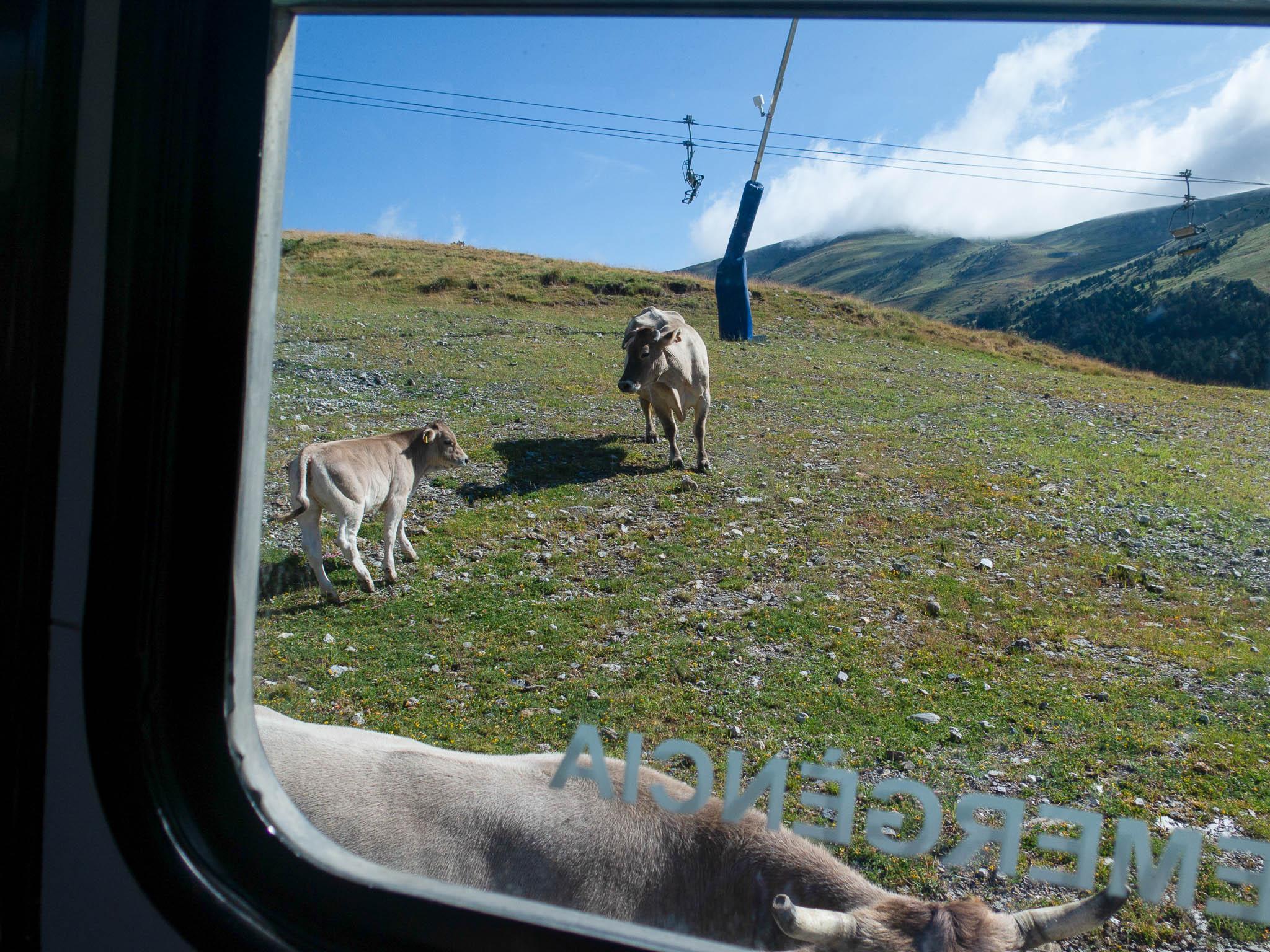 Kühe auf dem Berg, fotografiert vom Bus aus, im Hintergrund Sessellift