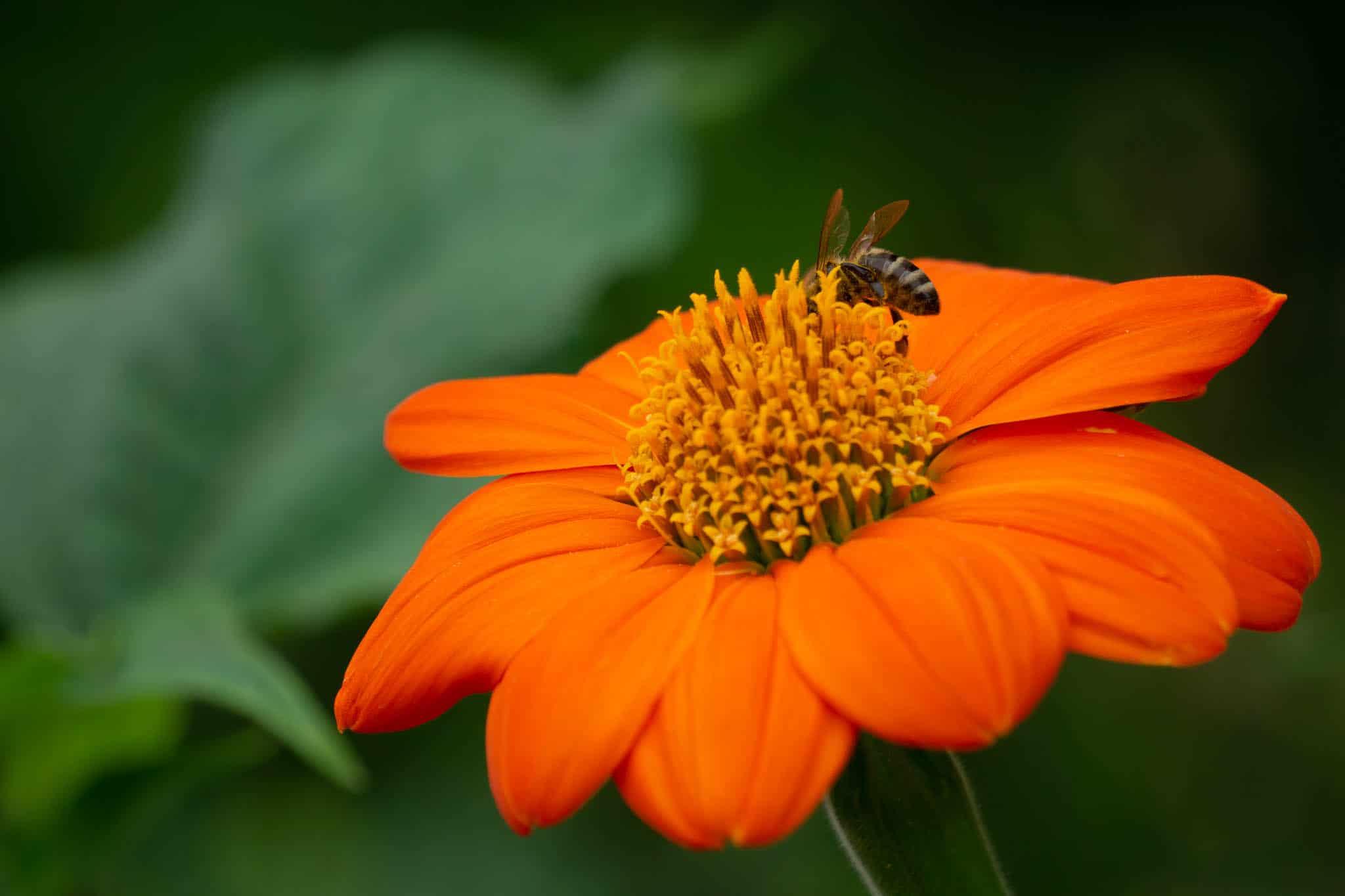 orangefarbene blüte mit wespe makro
