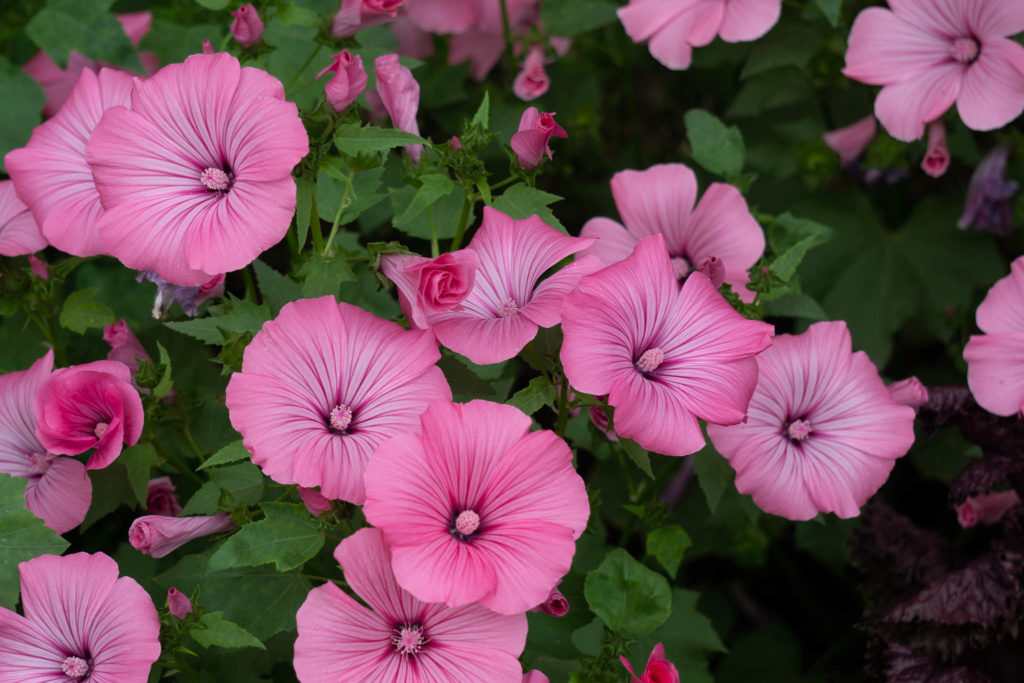 pinkfarbene blumen nahaufnahme